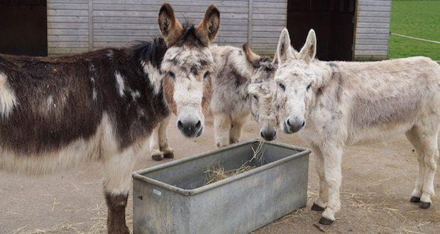 Donkeys at Redwings Aylsham